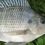 Budidaya Ikan Mujair, Sebuah Opini I Wayan Budiartawan